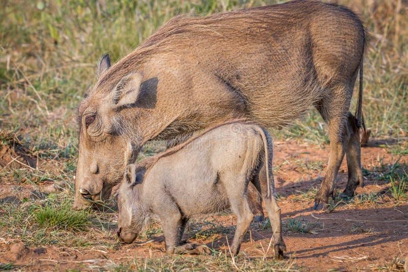 Matki i dziecka Warthog łasowania trawa obraz royalty free