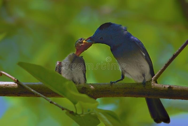 Matning av barnmonarkfågeln royaltyfri fotografi