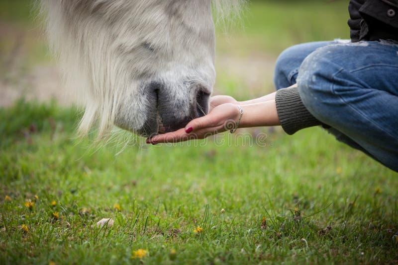 Matning av en vit häst med händer royaltyfri fotografi