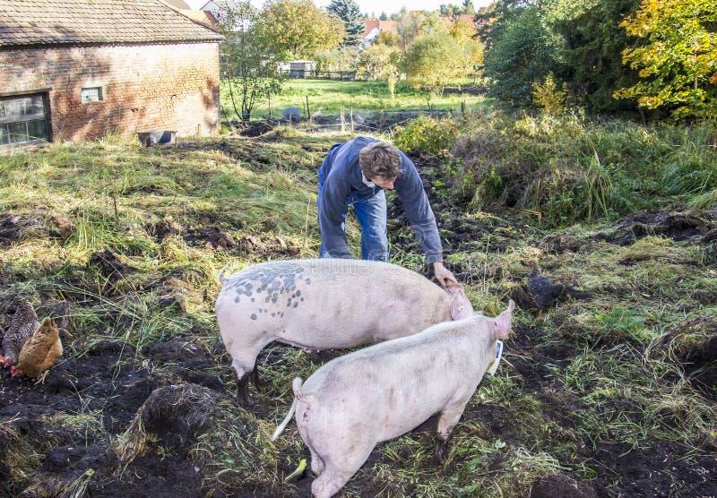 Matning av hans svin royaltyfri bild