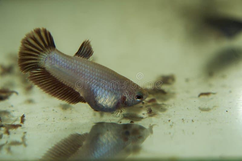 Matning behandla som ett barn den Siamese slåss fisken Betta Splendens i Aquarien royaltyfri foto