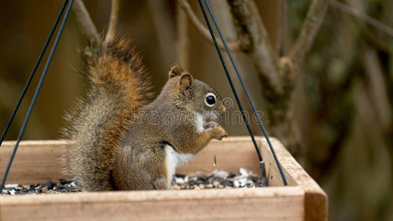Matning för röd ekorre fotografering för bildbyråer