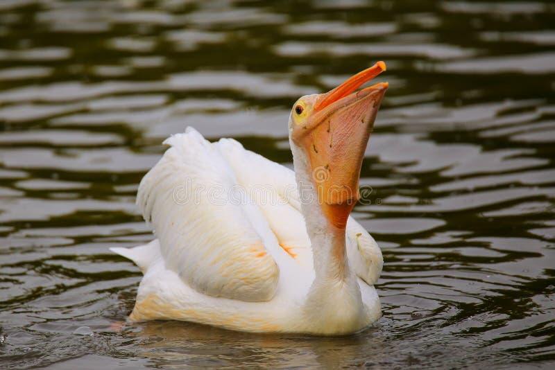 Matning för vit pelikan (Pelecanuserythrorhynchos) arkivfoto