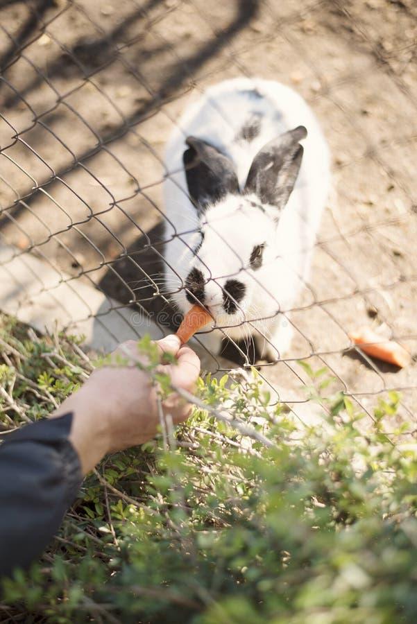 Matningar för en hand för ` s för ung man en vit kanin med morötter till och med ett staket i en zoo royaltyfri bild