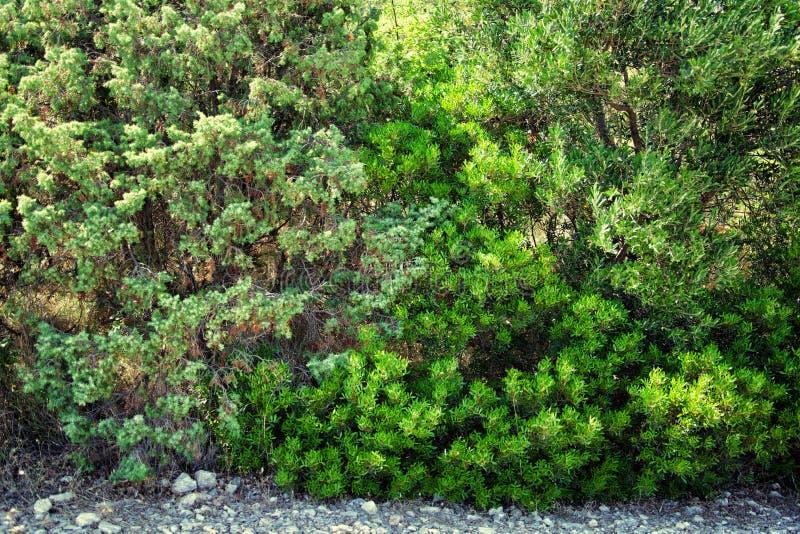 Matorrales del arbusto verde fotografía de archivo
