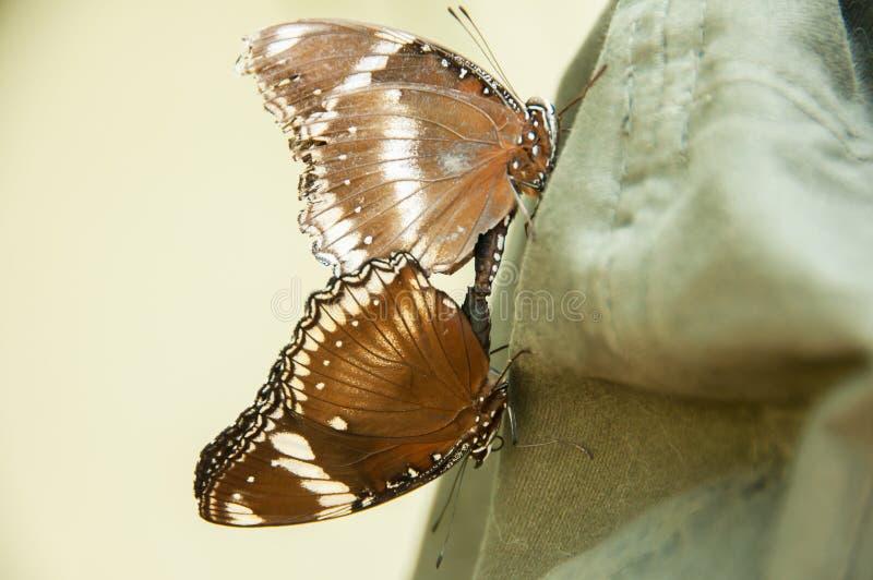 Matować między dwa motylami obrazy stock