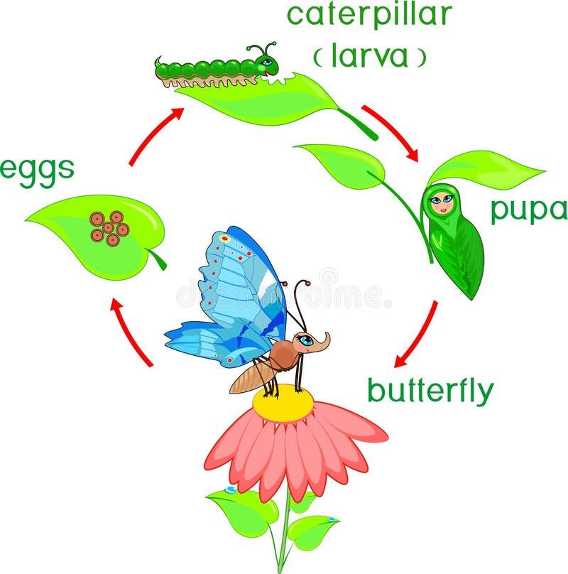 Matować pary dragonflies barwi pageLife cykl motyl Sekwencja sceny rozwój od jajka dorosły insekt ilustracja wektor
