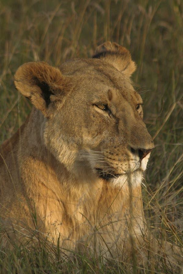 Matriarch do Mara imagens de stock royalty free