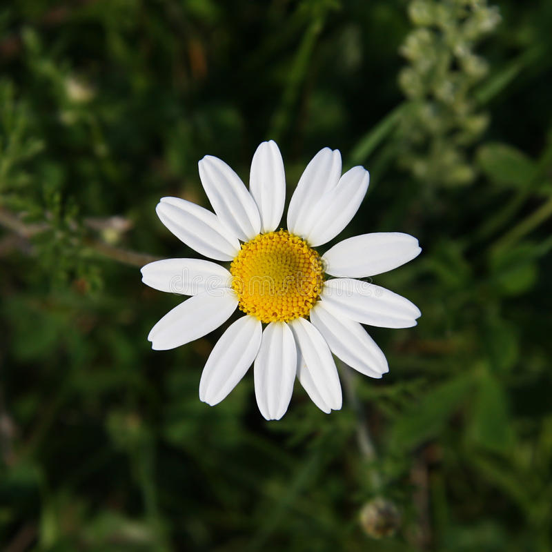 Matricaria chamomilla zdjęcia stock