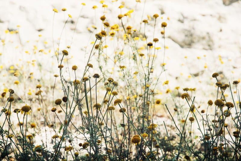 Matricaria chamomilla lizenzfreie stockbilder