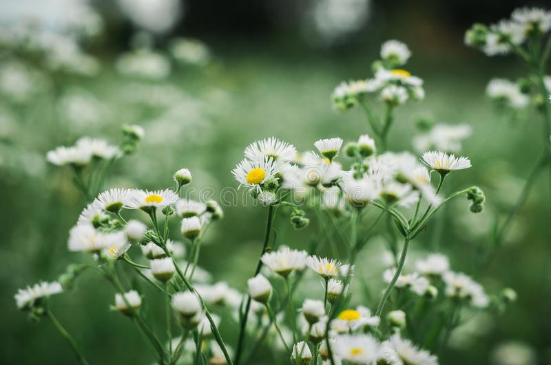 White daisies grow on a green field stock photography