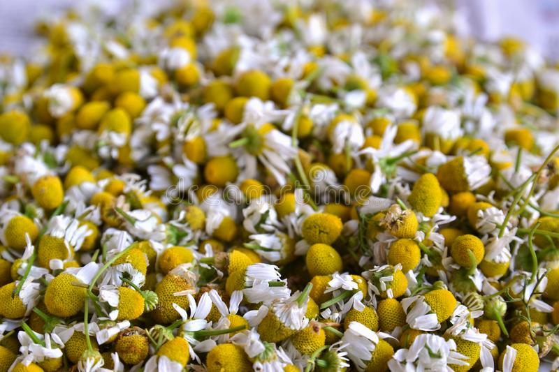 Matricaria chamomilla L. A lot of chamomile flowers, tea, health, collect, herbs, plants, white, yellow, biological, natural, dry, nature, camomile, medical stock photos
