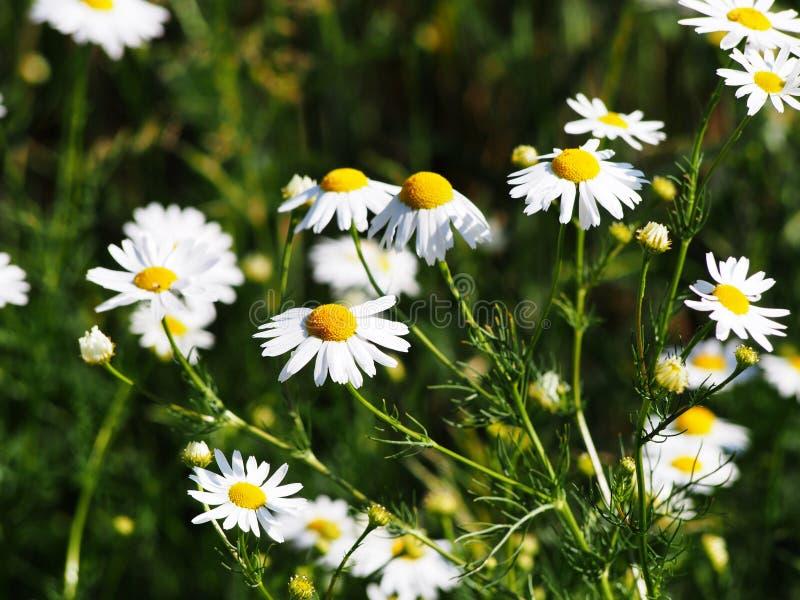 Matricaria chamomilla Syn Matricaria recutita u. x28; chamomile& x29; stockfotografie