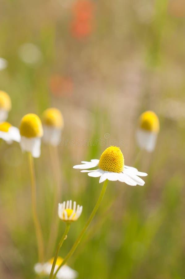 Matricaria chamomilla Synonym: Matricaria recutita, allgemein bekannt als Kamille stockfoto