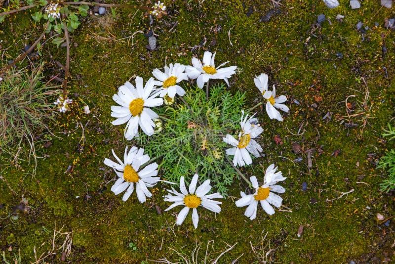 Matricaria subpolaris on Novaya Zemlya royalty free stock photo