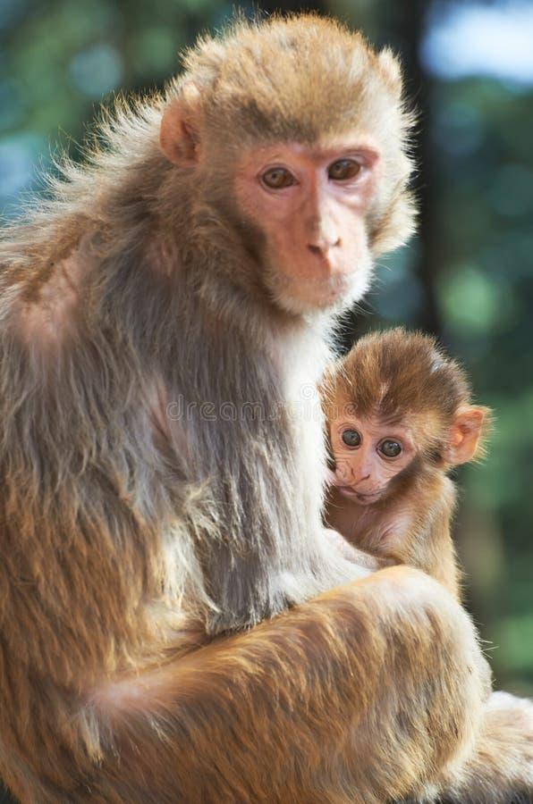 Matriz do macaco de Macaque com bebê do suckling fotos de stock royalty free