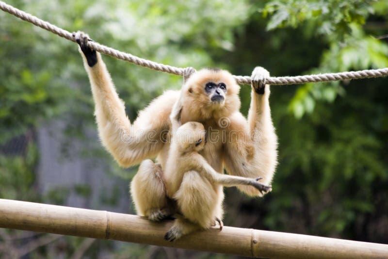 Matriz e bebê do Gibbon foto de stock royalty free