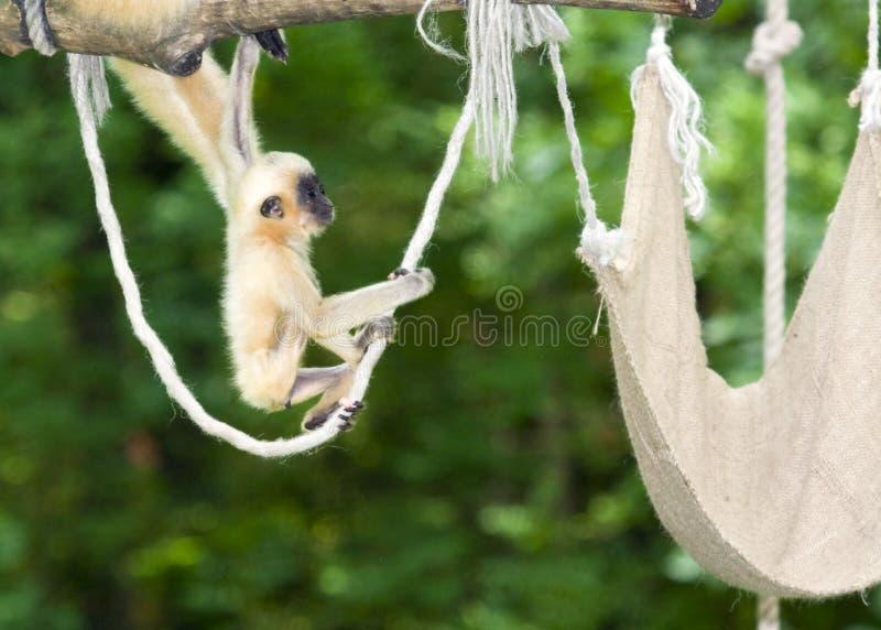 Matriz e bebê do Gibbon imagem de stock royalty free