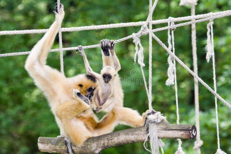 Matriz e bebê do Gibbon imagens de stock