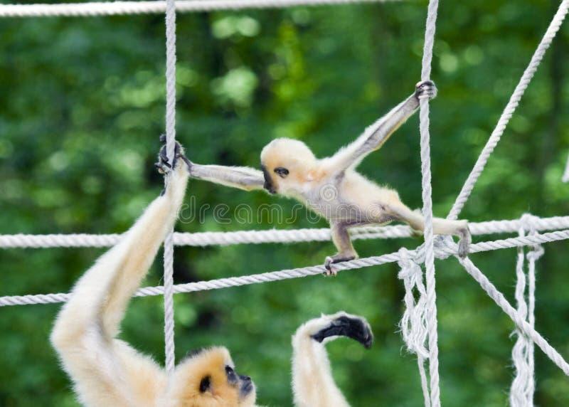 Matriz e bebê do Gibbon imagem de stock