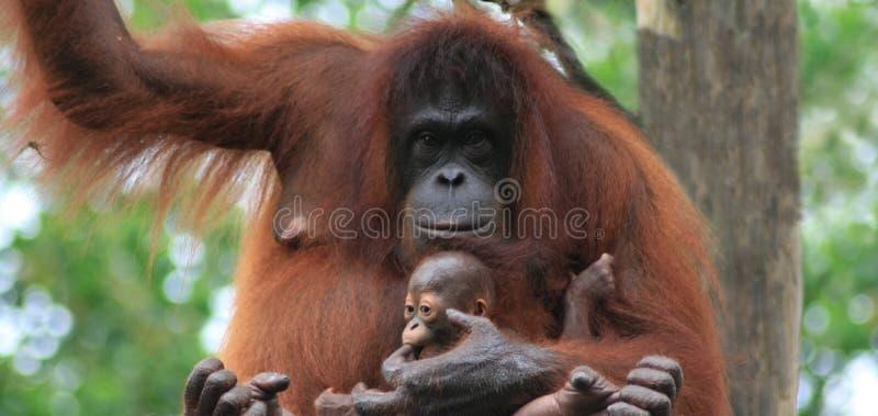 Matriz e bebê do orangotango imagem de stock