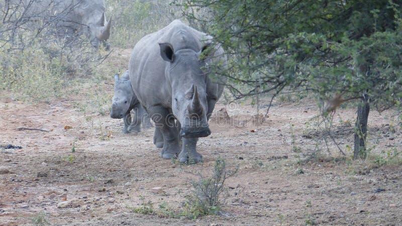 Matriz e bebê do rinoceronte foto de stock royalty free