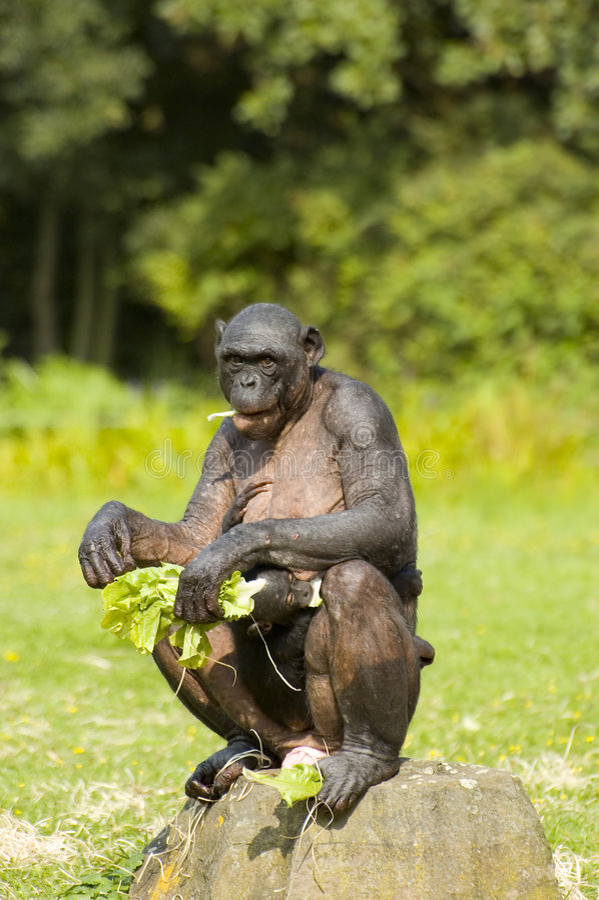 Matriz e criança do macaco do Bonobo fotografia de stock royalty free