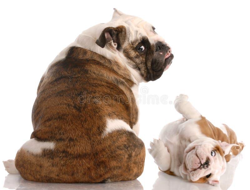Matriz e filhote de cachorro que olham o visor imagem de stock royalty free