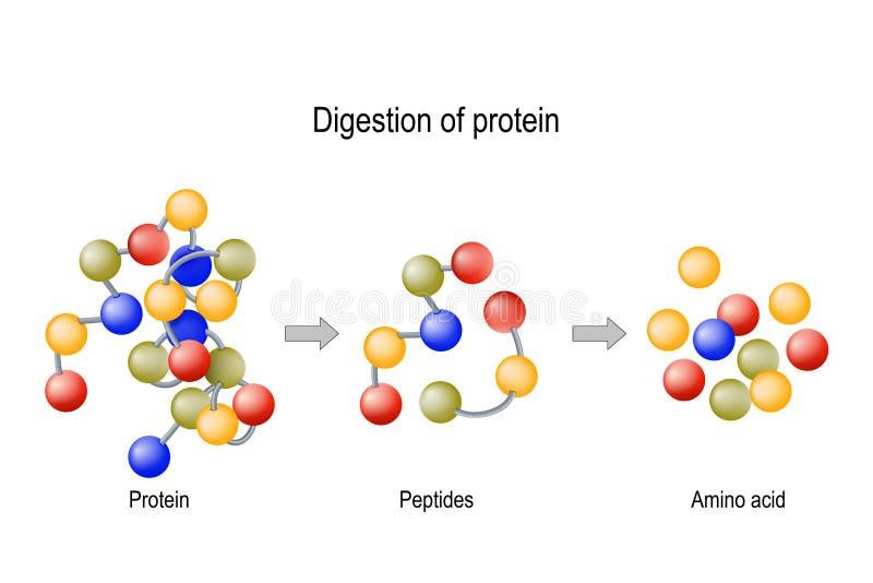 Matsmältning av protein Enzymproteases och peptidases, peptides och amino syror stock illustrationer