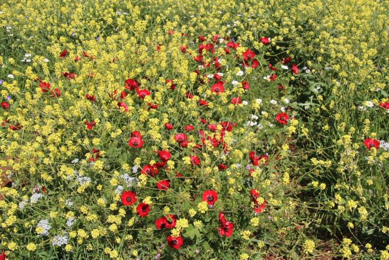 Matta av härliga blommor för blommor i Israel Mount Gilboa Carmel royaltyfria foton