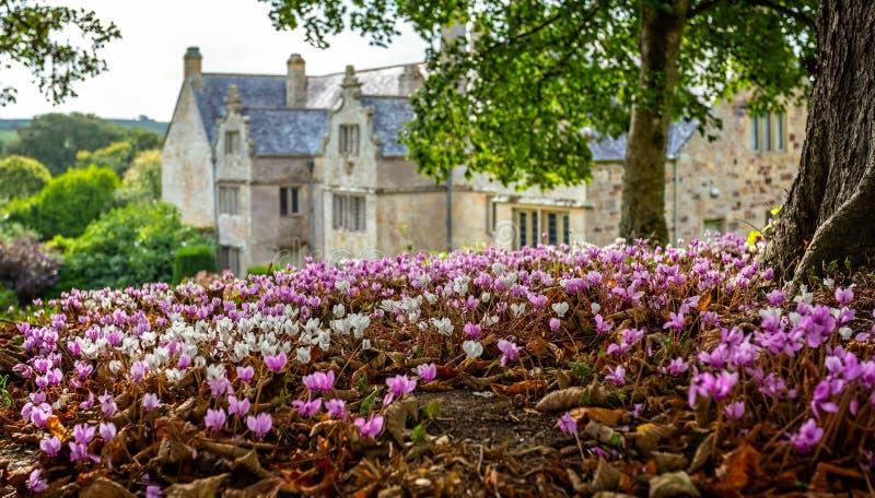 Matta av rosa och vit cyklamen blommar med mangårdsbyggnaden i bakgrund fotografering för bildbyråer