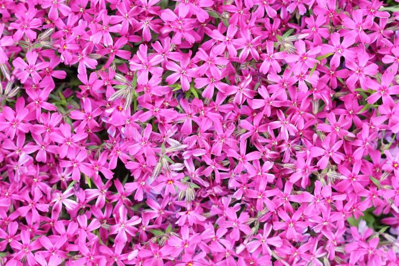 Matta av små purpurfärgade blommor arkivbild
