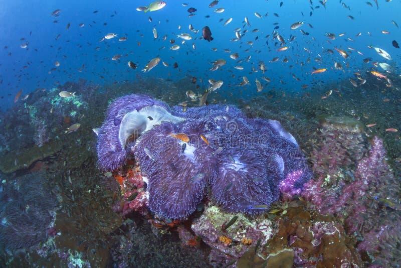 Mattanemoner med fluorescerande purpurfärgade tentakel fotografering för bildbyråer