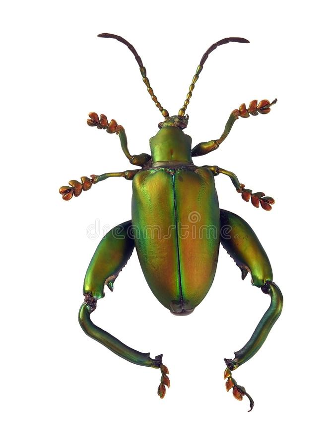 Matte Green Beetle Stock Images