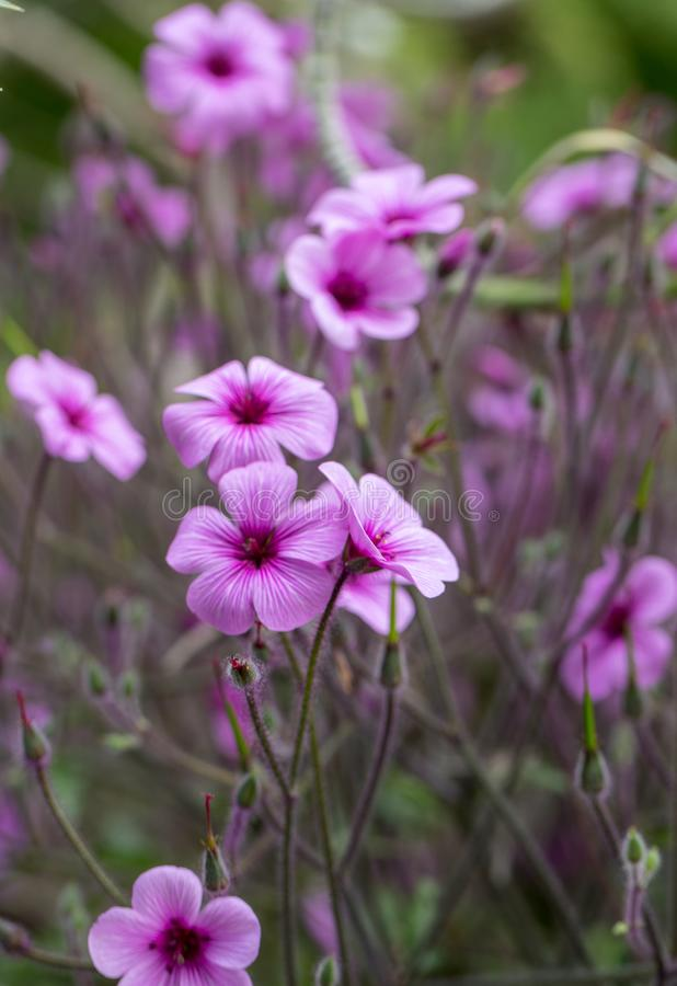 Matthiola maderensis is a flowering plant species of stock in the Brassicaceae family,. Native and endemic to the Madeira Islands royalty free stock image
