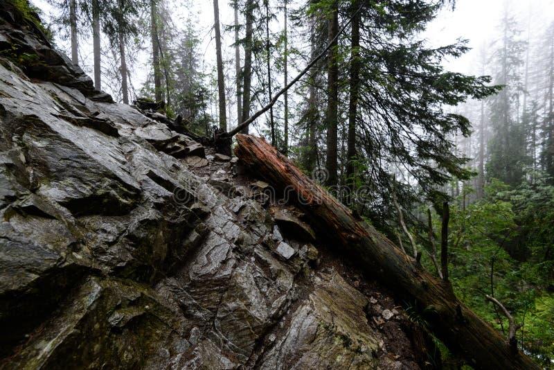 Mattina bagnata nebbiosa nel legno foresta con i tronchi ed il giro di albero immagine stock