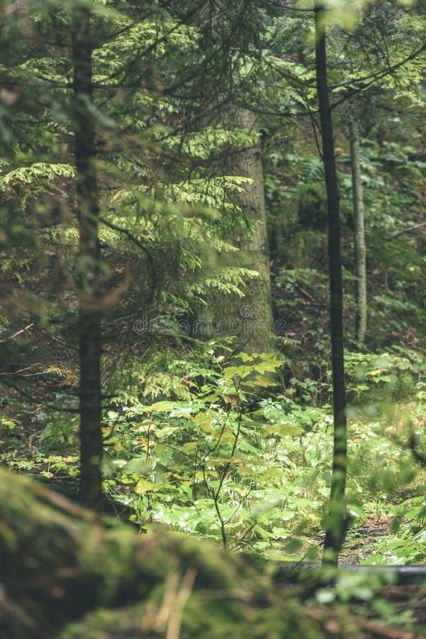 Mattina bagnata nebbiosa nel legno foresta con i tronchi ed il giro di albero immagine stock libera da diritti