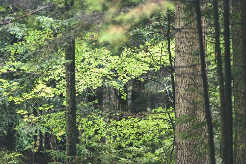 Mattina bagnata nebbiosa nel legno foresta con i tronchi ed il giro di albero immagini stock libere da diritti