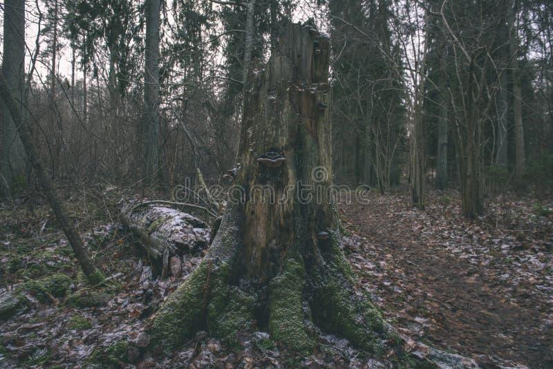 Mattina bagnata nebbiosa nel legno foresta con i tronchi ed il giro di albero fotografie stock