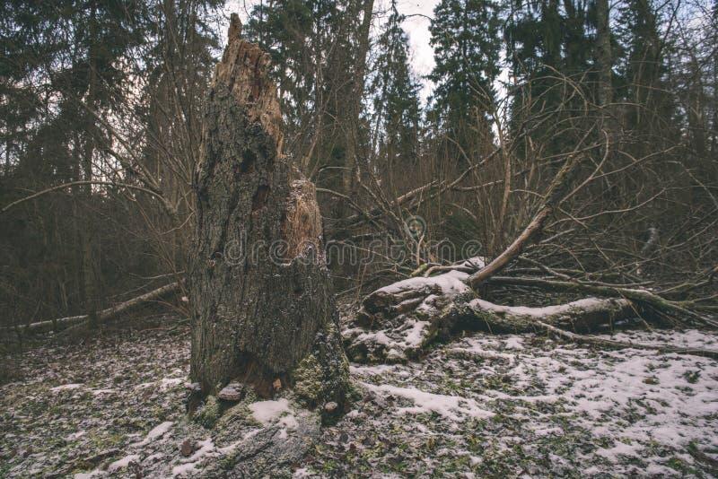 Mattina bagnata nebbiosa nel legno foresta con i tronchi ed il giro di albero fotografia stock libera da diritti