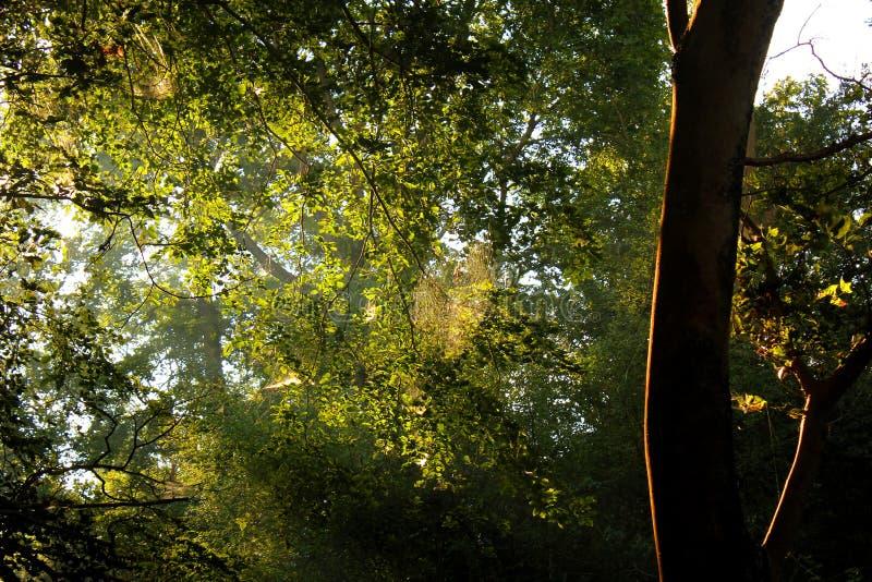 Mattina della foresta fotografie stock
