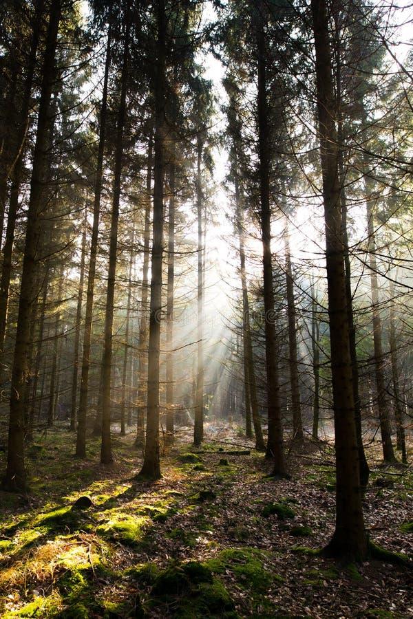 Mattina della foresta fotografia stock libera da diritti