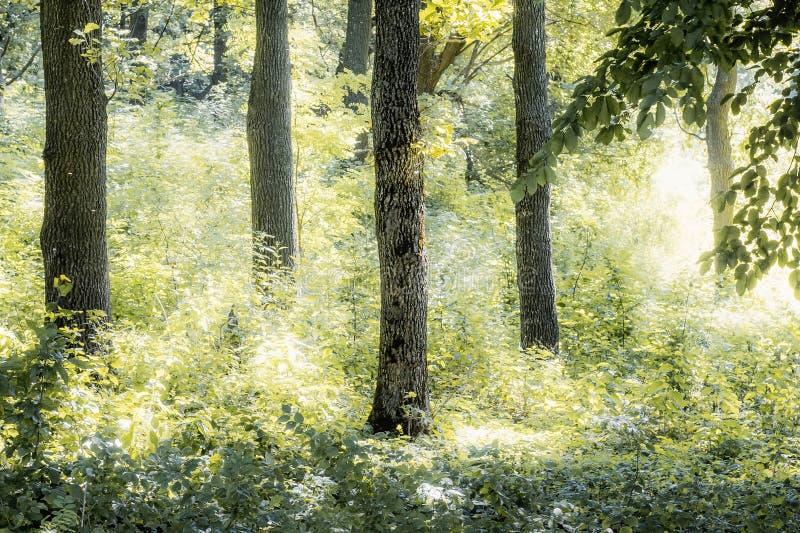 Mattina di autunno o dell'estate nella foresta, il sole splende il brightly_ fotografia stock libera da diritti