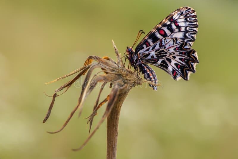 Mattina di estate della farfalla di Zerynthia Polyxena nel prato fotografia stock libera da diritti