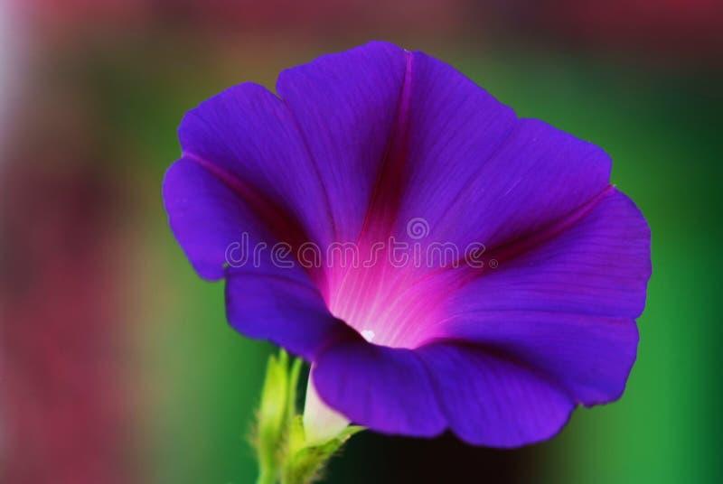 mattina di gloria del fiore immagini stock libere da diritti