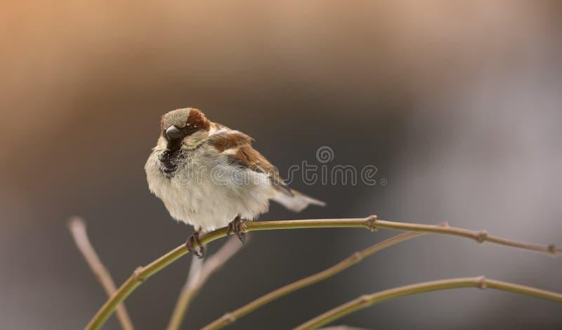 Mattina di inverno del passero fotografie stock