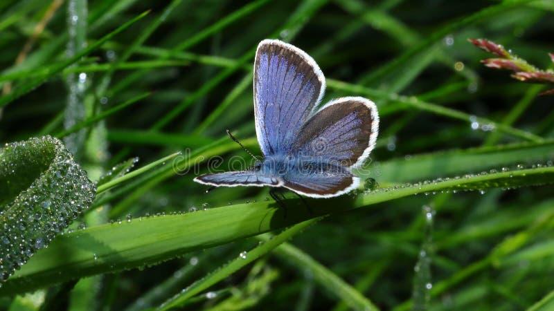 Mattina e farfalla e gocce di acqua 2 immagine stock