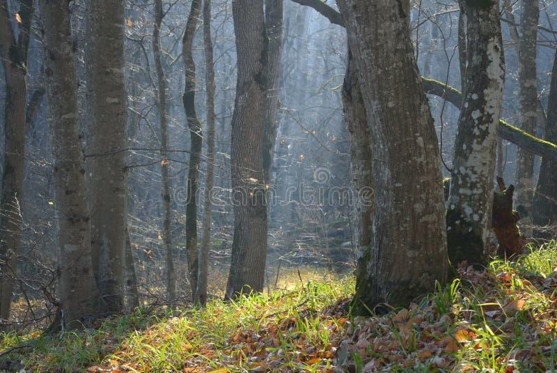 Mattina in foresta fotografia stock