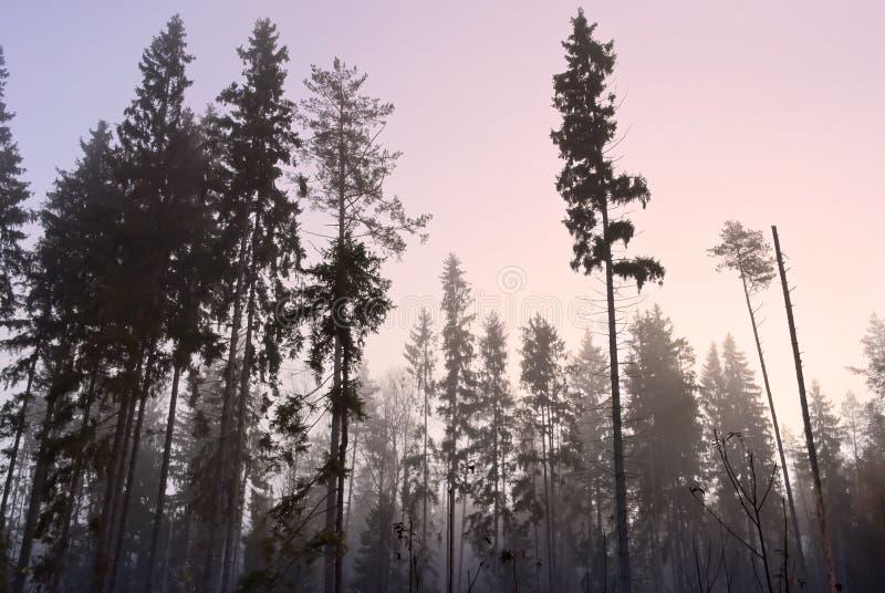 Mattina in foresta nebbiosa fotografia stock
