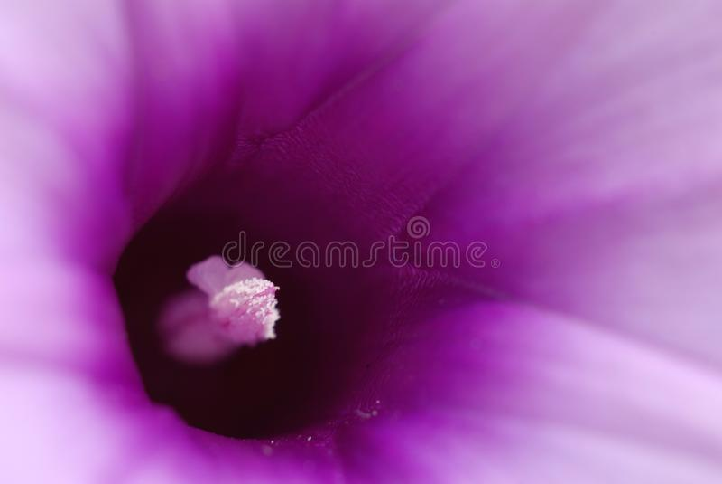 Mattina Glory Flower fotografie stock